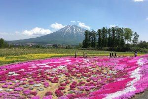 三島さんの芝ざくら庭園を見に行ってみた